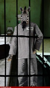 Zebra-in-Jail--81018